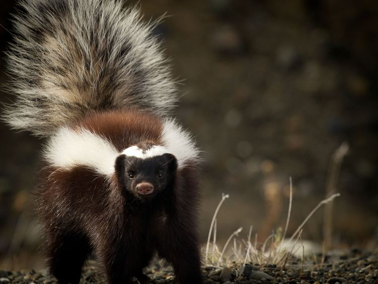 Hog nosed skunk - Alchetron, The Free Social Encyclopedia