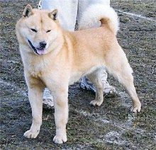 Hokkaido (dog) httpsuploadwikimediaorgwikipediacommonsthu