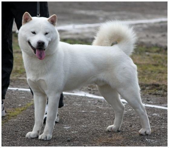 Hokkaido (dog) Hokkaido Dog Pictures Rescue Puppies Breeders Temperament
