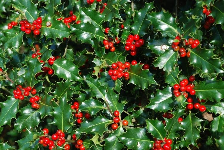 Holly Happy HollyDays Giles Landscapes CMS