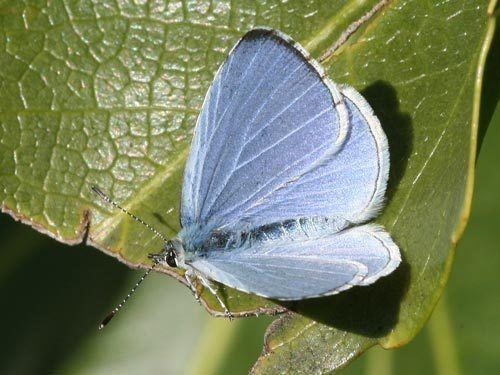 Holly blue Celastrina argiolus on euroButterflies by Matt Rowlings