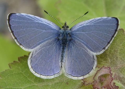 Holly blue Echo Blue Butterfly Celastrina argiolus