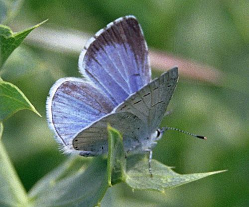 Holly blue Holly blue Celastrina argiolus