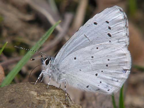 Holly blue wwweurobutterfliescompicsaargiolus8jpg