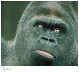 Hominidae Hominidae great apes humans Wildlife Journal Junior