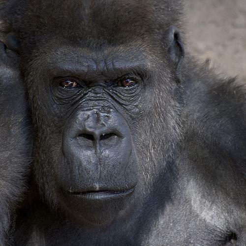 Homininae Hominidae Homininae Gorillini Gorilla John Guarino Flickr