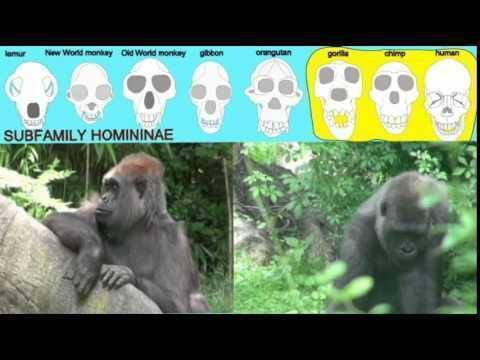 Homininae CLADOGRAM HOMININAE YouTube