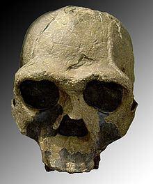 Homo ergaster httpsuploadwikimediaorgwikipediacommonsthu
