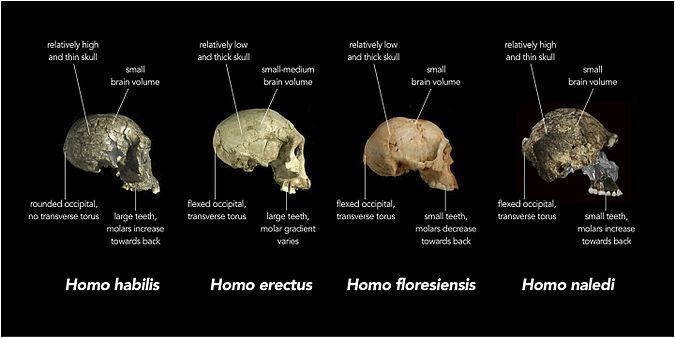 Homo naledi httpsuploadwikimediaorgwikipediacommonsthu