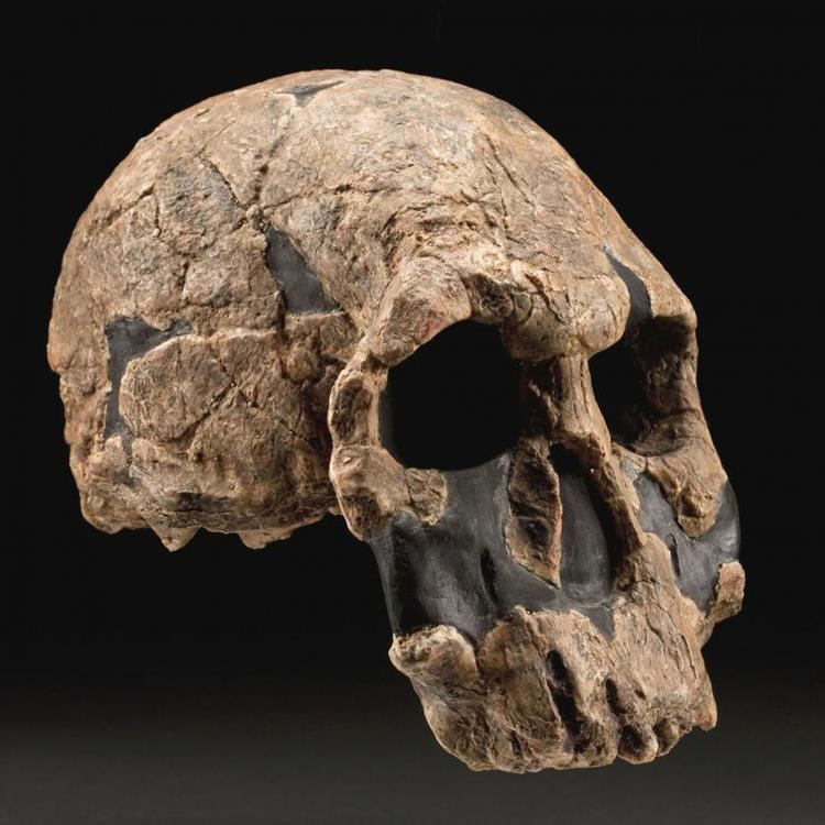 Homo rudolfensis humanoriginssiedusitesdefaultfilesstylesful