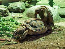 Homopus signatus Homopus signatus Wikipedia