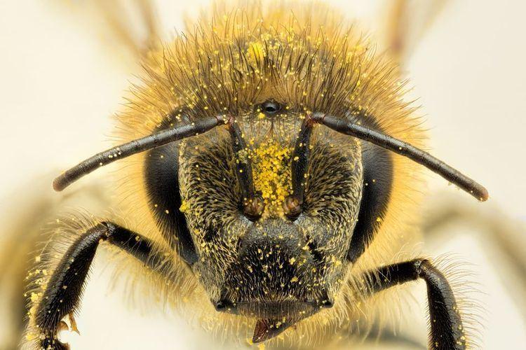 Honey bee Honeybees Honeybee Pictures Honeybee Facts National Geographic