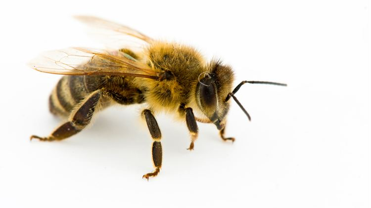 Honey bee kidsnationalgeographiccomcontentdamkidsphoto