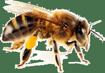 Honey bee For Sale Honey Bees Equipment Long Island Beekeepers Club