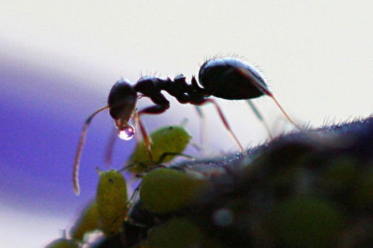 Honeydew (secretion)