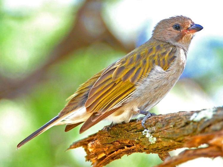 Honeyguide Birds of The World Barbets