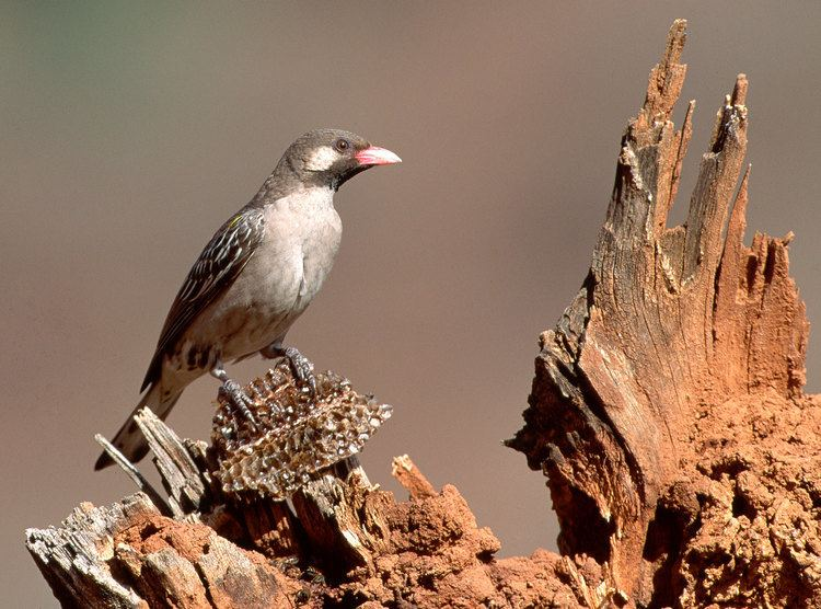 Honeyguide How to Find Treasure With a Honeyguide39s Help Audubon