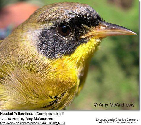 Hooded yellowthroat httpswwwbeautyofbirdscomimagesbirdsHoodedY