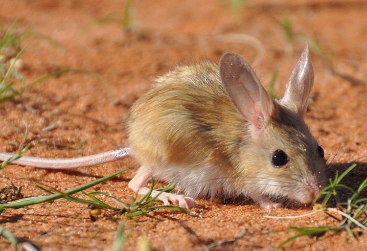 Hopping mouse Dingoes are a hopping mouse39s best friend Business Insider
