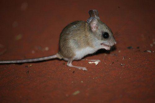 Hopping mouse Desert heroes VCE Biology
