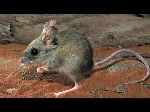 Hopping mouse Desert Hopping Mouse YouTube
