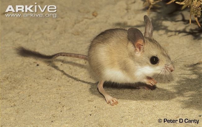 Hopping mouse Dusky hopping mouse photo Notomys fuscus G107027 ARKive
