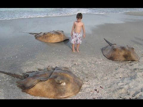 Horseshoe Crab Alchetron The Free Social Encyclopedia