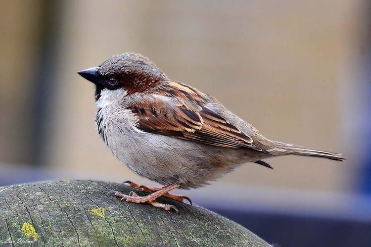 House sparrow House Sparrows House Sparrow Pictures House Sparrow Facts