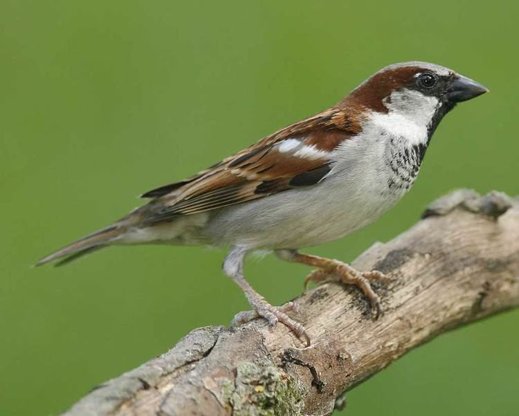 House sparrow d2fbmjy3x0sduacloudfrontnetsitesdefaultfiles