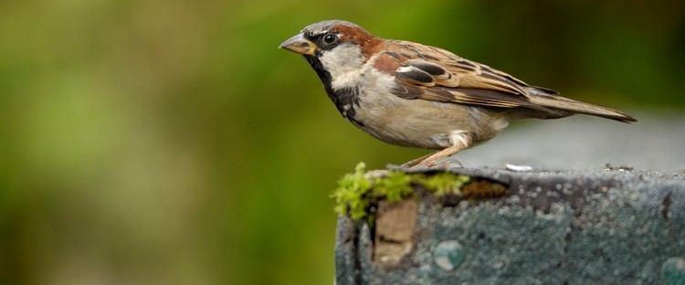 House sparrow The RSPB House sparrow