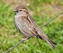 House sparrow House sparrow Wikipedia