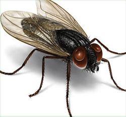 Housefly httpswwwdoyourownpestcontrolcomimageshousef