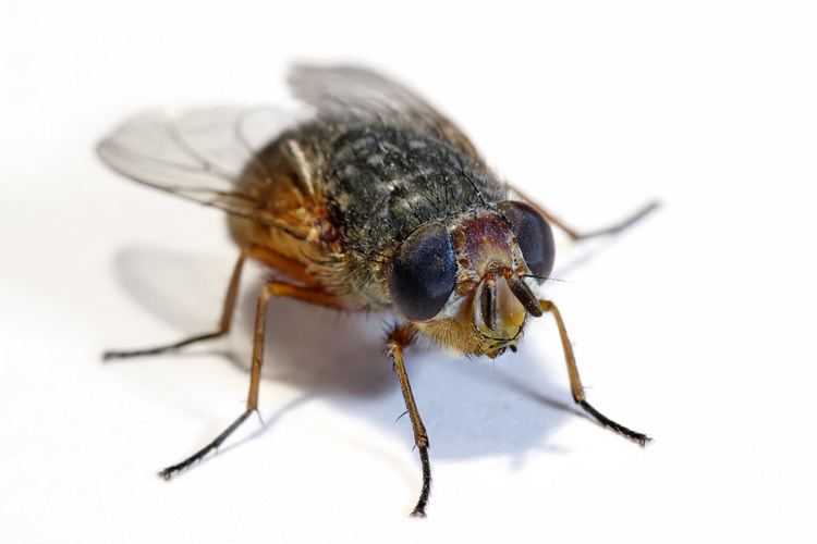 Housefly Common Houseflies Harmless