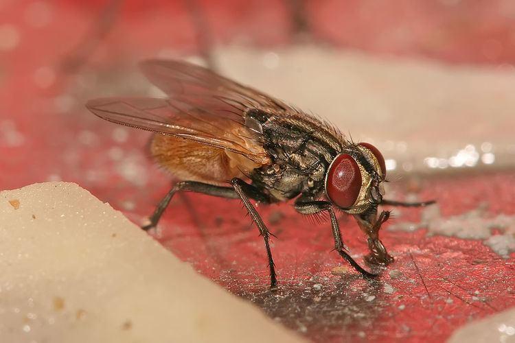 Housefly Housefly Wikipedia