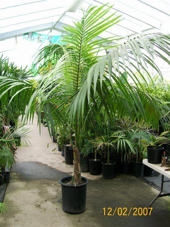 seedling howea forsteriana kentia palm