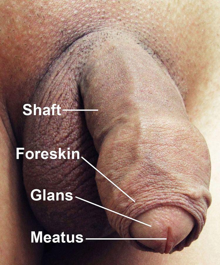 Human penis