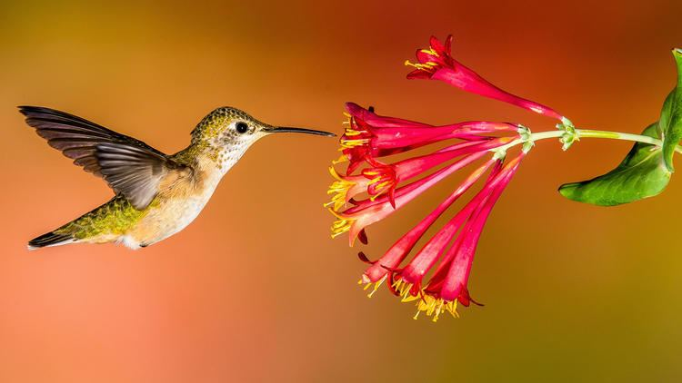 Hummingbird How to Create a HummingbirdFriendly Yard Audubon