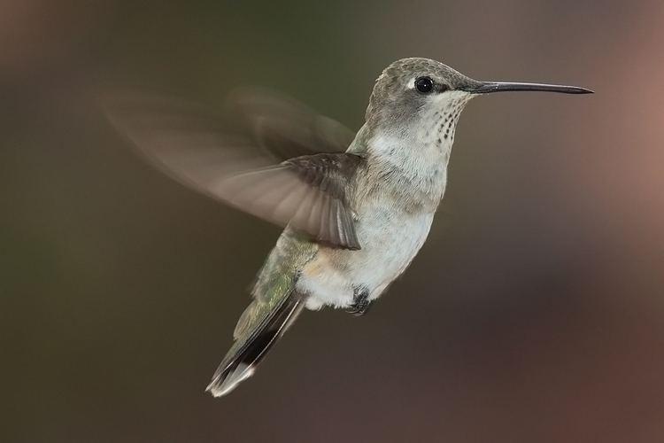 Hummingbird httpsuploadwikimediaorgwikipediacommons11