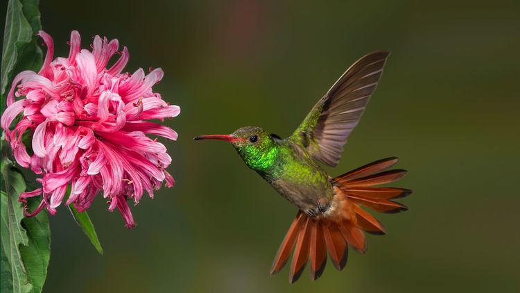 Hummingbird Hummingbird San Diego Zoo Animals amp Plants