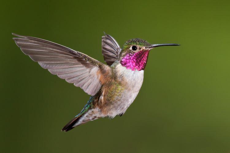 Hummingbird Hummingbirds Plus Feeding News Study Group amp More