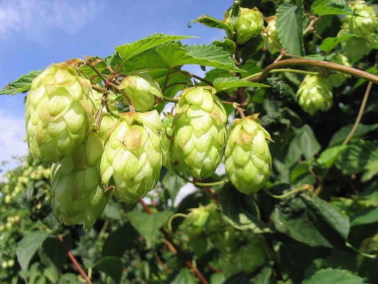 Humulus lupulus Humulus lupulus the plant beer brewers are hopping mad for Plant