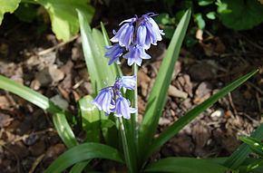Hyacinthoides × massartiana httpsuploadwikimediaorgwikipediacommonsthu