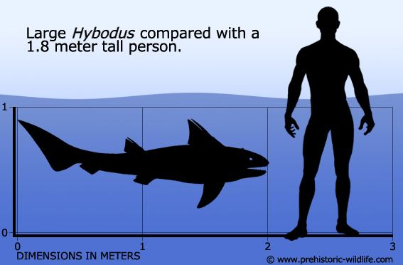 Hybodus Hybodus