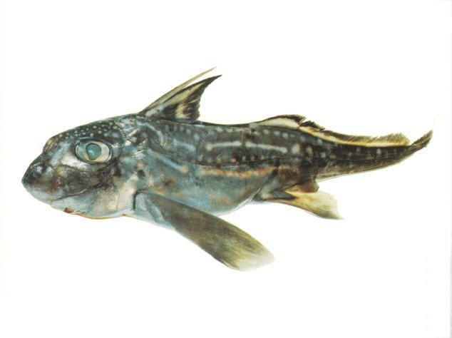 Hydrolagus Fish Identification