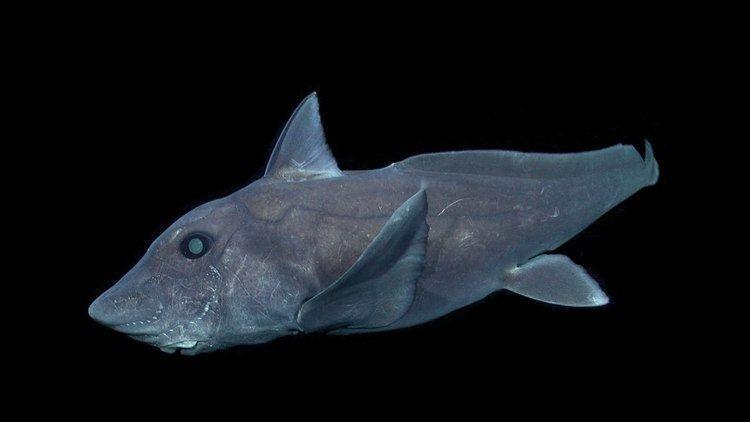 Hydrolagus The pointynosed blue ratfish Hydrolagus trolli YouTube