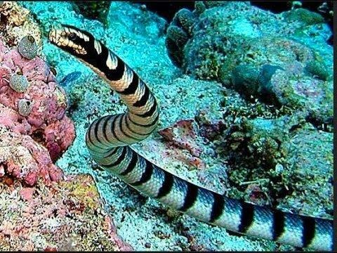 Hydrophis Faintbanded sea snake or Belcher39s sea snake Hydrophis belcheri