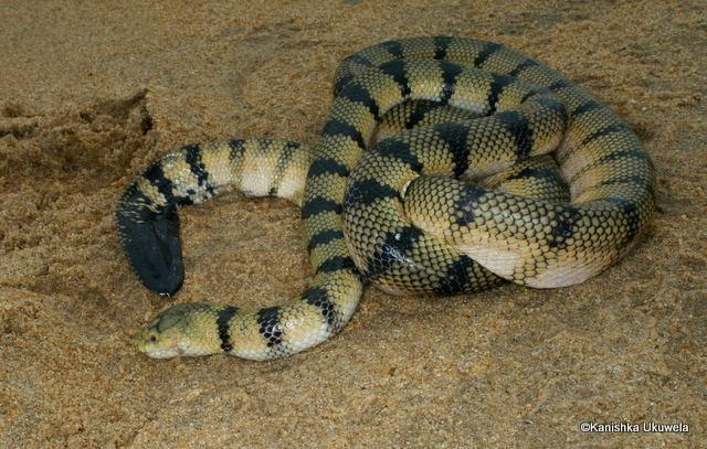 Hydrophis CalPhotos Hydrophis spiralis Yellow Sea Snake