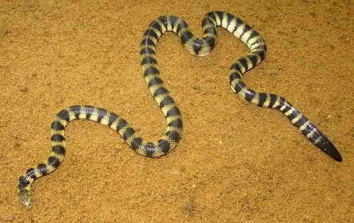 Hydrophis cyanocinctus Annulated Sea Snake Facts and Pictures Reptile Fact