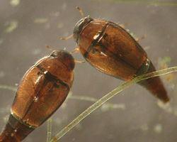 Hydroscaphidae httpsuploadwikimediaorgwikipediacommonsthu