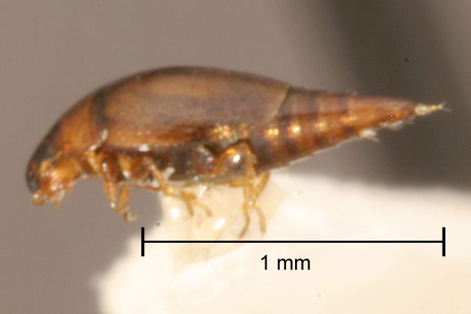 Hydroscaphidae SBMNH Entomology The California Beetle Project Species Pages